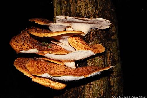 Bracket Fungi Polyporus squamosus