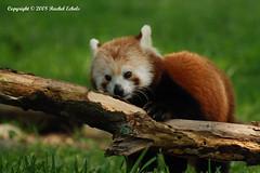 Red Panda (CritterQueen) Tags: animal mammal zoo virginia panda searchthebest redpanda blueribbonwinner norfolkzoo specanimal mywinners abigfave nikond80 anawesomeshot impressedbeauty citrit adorablecritters september2008 goldstaraward critterqueen nikkor80400mmf56vr