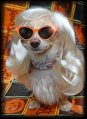 Honey Monroe (Doxieone) Tags: dog cute english fall halloween marilyn photoshop glasses costume long mosaic cream dachshund honey wig blonde 2008 haired 31 coll longhaired honeydog englishcream halloweenfall2008set