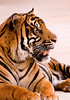 Bengle Tiger in SA 3-0 F LR 8-9-08 J038 (sunspotimages) Tags: animals sanantonio tigers bigcats zoos sanantoniozoo outstandingshots specanimal outstandingshot worldbest picturefantastic thebestofday bestflickrphotography vosplusbellesphotos flickrbigcats