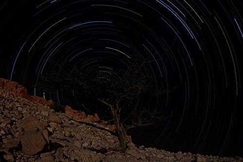 Dead sea acacia tree