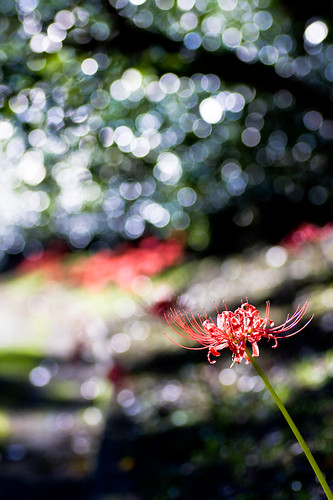 Lycoris radiata : HBW
