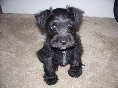 Cute Dobby, Miniature Schnauzer Puppy