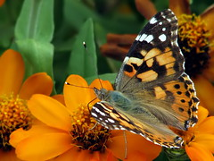 Painted Lady (theroadhere) Tags: wild orange nature butterfly insect texas blossoms blooms paintedlady blackspots flyinginsect vanessacardui orangeflowers whiteedge whitespots canonpowershots5is naturewatcher top20flowerswithbugs gemsofnature vosplusbellesphotos