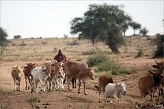 4 Masai Mara - Maasai & Cattle (minioreocake) Tags: cattle kenya safari maasai masaimara