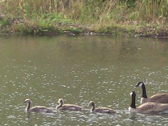 Canada Geese and goslings (Paralogy) Tags: canadagoose brantacanadensis