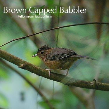 brown_capped_babbler by kestrel_523.