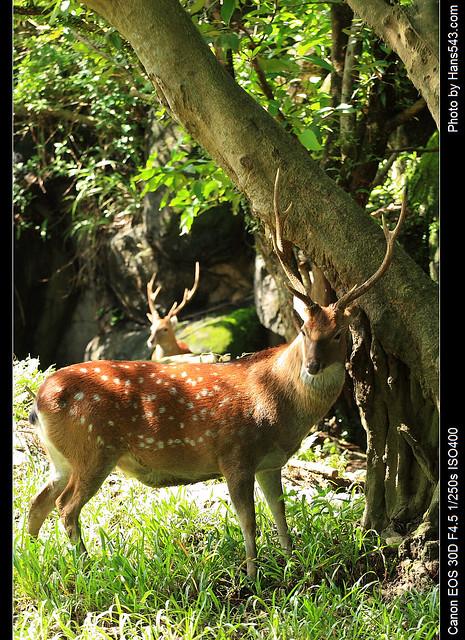 梅花鹿_Formasan Sika Deer_05