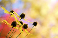 My Bokeh Recipe (swilton) Tags: flowers autumn toronto ontario canada fall nature highpark bokeh daisy 50mm18seriese nikond40x photofaceoffplatinum pfogold