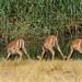 black impalas drinking