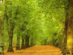 Lime Tree Avenue, Nottinghamshire (DaveKav) Tags: nottingham uk greatbritain autumn trees england brown green fall leaves unitedkingdom britain olympus sherwoodforest gb lime nationaltrust nottinghamshire e510 clumberpark fourthirds limetrees bassetlaw linetreeavenue dkavportfolio
