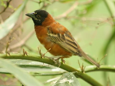 Chestnut Weaver