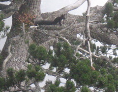 Scoiattolo nella nebbia -  Black squirrel in the fog