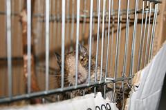 Urano (myolastan) Tags: animal rat animales degu