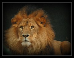 How much longer will the King reign? (Animalography) Tags: africa nature nikon wildlife lion conservation soe extinction impressedbeauty eliteimages goldstaraward vosplusbellesphotos oraclex flickrbigcats oneofmypics