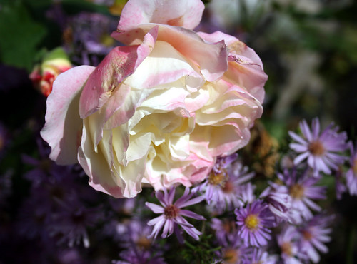Scent-Sation rose and New York Asters