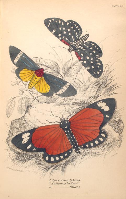 1. Hypercampa Sybaris; 2. Callimorpha Helcita; 3. Callimorpha Phileta.  (1843)