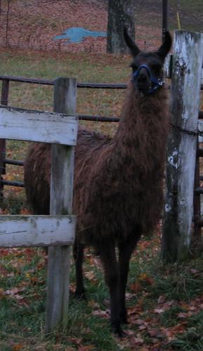Rosie the Llama