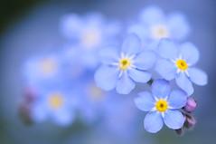 Monday Blues (*Sakura*) Tags: blue flower macro japan explore 日本 sakura forgetmenot bud 勿忘草 忘れな草 impressedbeauty わすれなぐさ