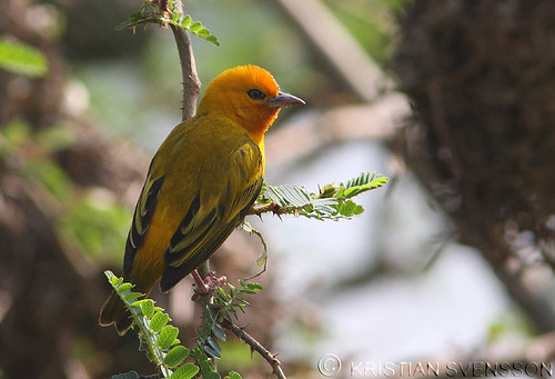 Orange Weaver (Ploceus aurantius) by macronyx.