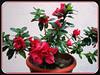 Rhododendron simsii; Azalea indica (Indoor/Indian Azalea, Chinese Indica/Azalea, Chinese Honeysuckle, Sim's Azalea, Belgian/Southern Indian or Indica Hybrids)