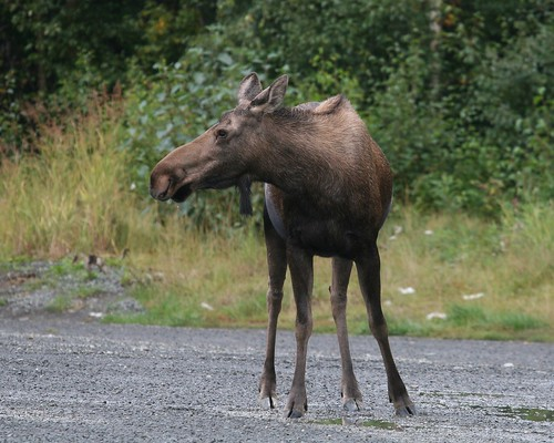 Roadside Moose