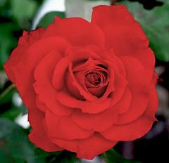 Red Flower (Pedro Cavalcante) Tags: flowers red naturaleza flores flower nature fleur rouge rojo flora natureza natur flor natuur natura vermelho blomma bunga  vermelha blume fiore blomst 6000 bulaklak hoa ua flore bloem lill  iek  kwiat blodyn  naturesfinest lule blom  cvijet  cvet   gl kvtina kvetina  s6500 pue  s6000 floarea  fjura  blthanna finepixs6500 finepix6500 kukkien virga
