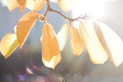 Blooming Light O'er Leaves (Josiah!) Tags: autumn light sun slr fall beautiful beauty leaves digital photoshop canon wow wonderful lens eos photo leaf reflex amazing pretty shot mark gorgeous awesome iii great grace adobe elite single stunning lovely elegant f18 dslr 18 1ds graceful radiant josiah splendid lightroom mark3 canonef50mmf18ii canoneos1dsmarkiii 1dsmarkiii canon1dsmarkiii 1dsmark3 josiahpugh eternallyaddicted pughphotography