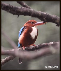 White-throated Kingfisher #2 (Azmi Bogart) Tags: city bird kingfisher bogart kuala lumpur azmi whitethroatedkingfisher