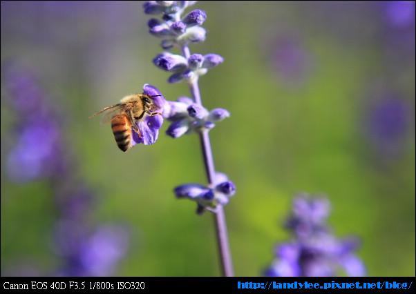 9711-新社花海:Date with Bee_038.jpg