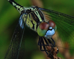 Dragonfly (Tanya Puntti (SLR Photography Guide)) Tags: dragonfly