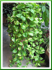 Potted Epipremnum aureum 'Golden Pothos' cascading over a metal stand, in our garden
