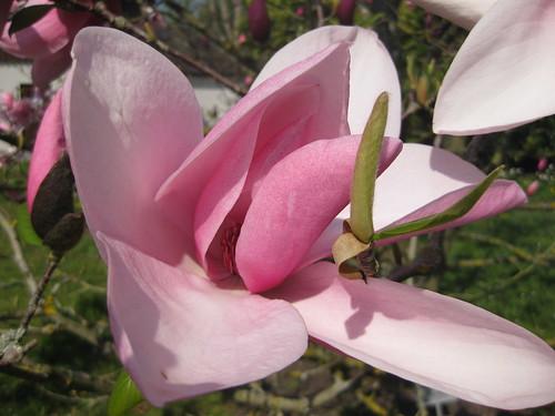Magnolia, Insel Mainau