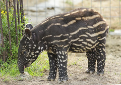 baby tapir (* Yumi *) Tags: baby animal tapir adventureworld