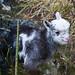 Soay lamb in Cheddar, UK