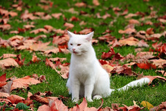 White Cat in Autumn Leaves (E.L.A) Tags: autumn cute fall nature beautiful grass animal horizontal cat turkey pose garden season relax outdoors photography leaf healthy kitten feline day sitting sweet outdoor seasonal kitty ab kittens nopeople istanbul autumnleaves kitties lovely relaxation ideas domesticanimals whitecat domesticcat kedi lookingaway oneanimal colorimage catphotos catpics animalthemes turkishvancat frontorbackyard nikond80 saariysqualitypictures photoofcats