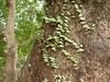 竹山鎮中和里救人老茄苳樹DSCN0187