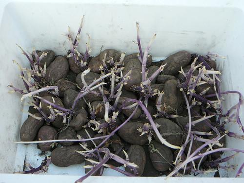Kartoffelaustrieb