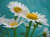(GönüL*) Tags: flower nature loveit daisy soe doga çiçek papatya mywinners enstantane platinumphoto thegoldenmermaid goldstaraward macroflowerlovers fotografca flickrlovers