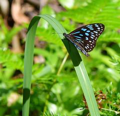 Butterfly (Jonas Ollmar) Tags: trip travel vacation holiday nature animal butterfly australia australien noosaheads