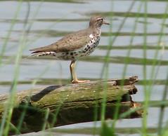 Wader at Saint Vincent Lake