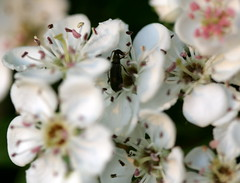 Spot the bug ;-) (sezohanim) Tags: flowers macro home bug garden beetle hedge hawthorn