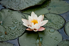 Water-lily (Rutger Blom) Tags: vacation flower holland public water vakantie waterlily personal nederland thenetherlands blomma waterdrops vatten semester waterdruppels bloem waterlelie nckros drunen nederlnderna vattendroppar nederlnderna enbrabild nckros