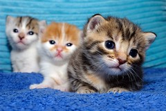 Brothers & sister (The Flying Pie) Tags: cats cute nikon kittens gatos gato d200 kittenmagazine