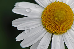 DSC_5214 - Rain drops keep falling on my head. (archer10 (Dennis)) Tags: canada nikon published novascotia free daisy dennis archer d300 iamcanadian 18200vr worldtravels dennisjarvis archer10 dennisgjarvis
