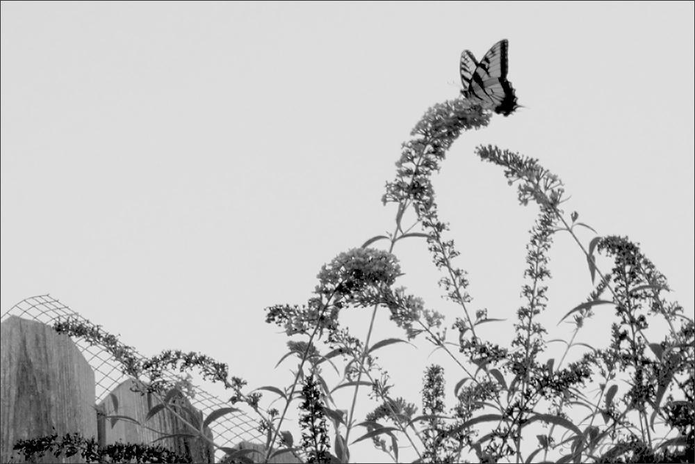 5197 (butterfly) ©2008 RosebudPenfold