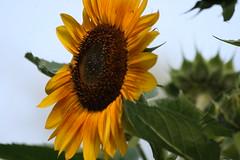 IMG_3508 (Blackavar Lion) Tags: flowers flower macro closeup bokeh bee sunflower bloom abeja tournesol abeille girasol bij biene  sonnenblume zonnebloem hymenoptera    apoidea  canonrebelxti  anthophila  2be2176f59cfac7c3f99b44a73b29c9b