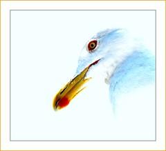 gabbiano -- seagull (billerbuch) Tags: elba seagull taxonomy larusmichahellis visiongroup theperfectphotographer goelandleucophée goldstaraward gabbianorealezampegialle billerbuch jellowleggedseagull