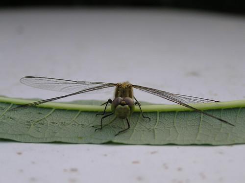 Sudenkorento katsoo kohti lehdeltä
