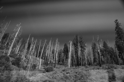 burned red wood trees